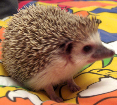 CloseupHedgehog.jpg